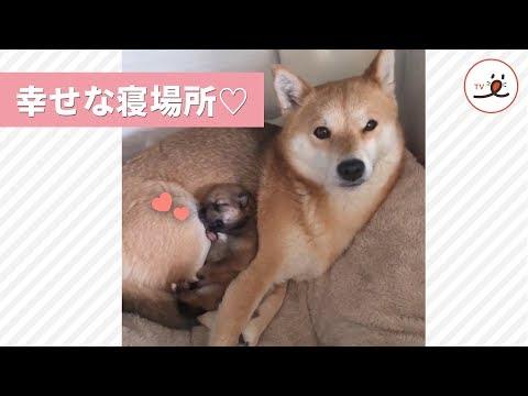 ママのおなかの上で…😴 とってもカワイイおねむな柴犬おやこ♡【PECO TV】