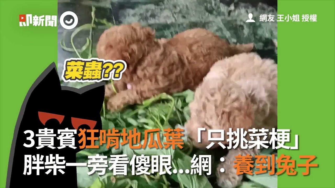 3貴賓狂啃地瓜葉「只挑菜梗」 胖柴一旁看傻眼...網:養到兔子│寵物│狗狗