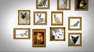 Cats 101: Colorpoint Shorthair