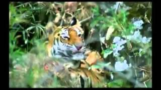 great cats of india 1 of 4 alphonse roy tiger lion leopard snow leopard