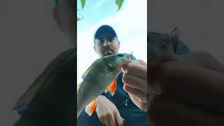 Одна из лучших приманок на окуня Рыбалка осенью Спиннинг с берега shorts