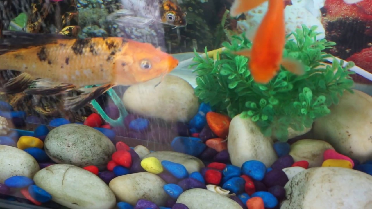 Fish aquarium is good in home - Aquarium Fish Good For Home