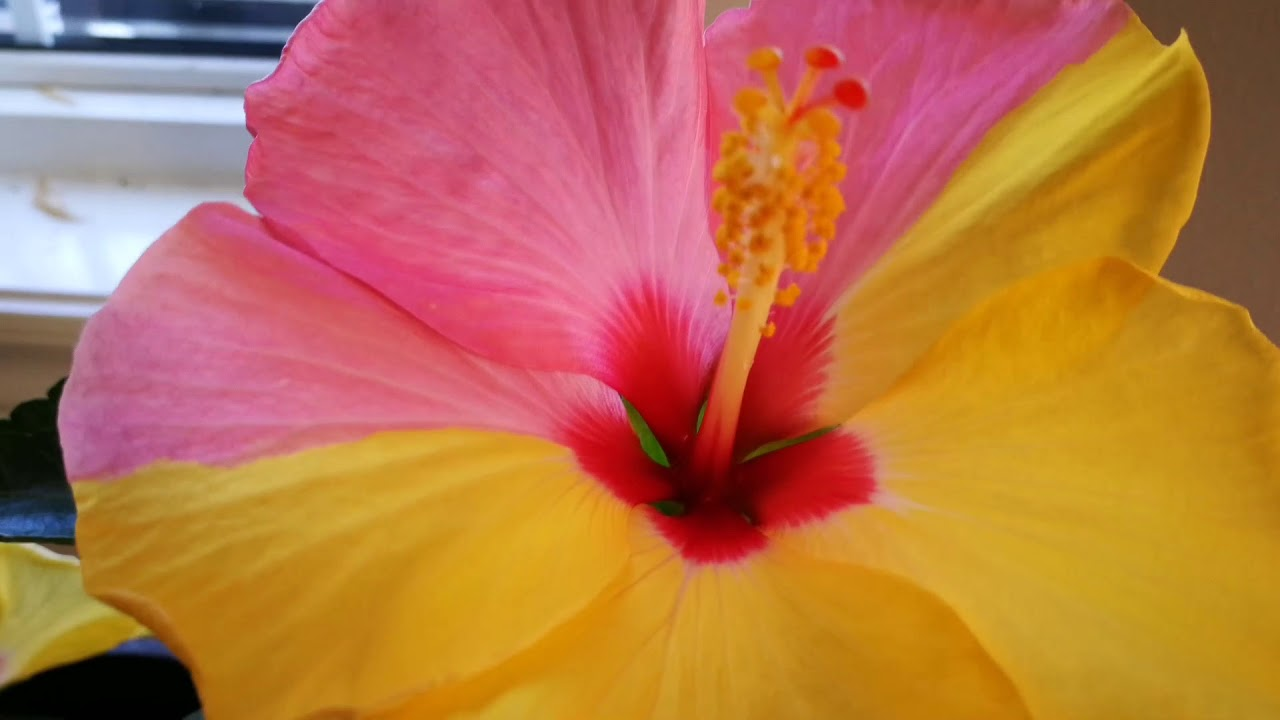 my hibiscus has two colors one the same flower - YouTube