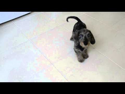 Nikolas Iz Novo-Peredelkino -wire dapple standard  dachshund puppy-male