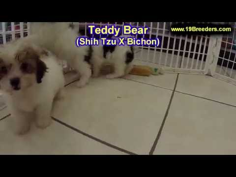 Teddy Bear, Puppies, For, Sale, In, Badger, County, Alaska, Ak, Kink Fairview, College