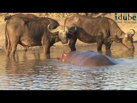 Hippo Greets a Buffalo Herd