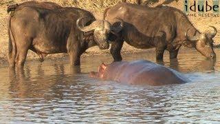Hippo Greets a Buffalo Herd thumbnail