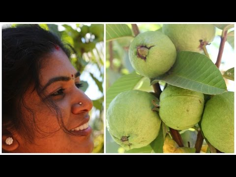 ORGANIC FARM FRESH GUAVA FRUITS  IN MY FARM | READY TO EAT