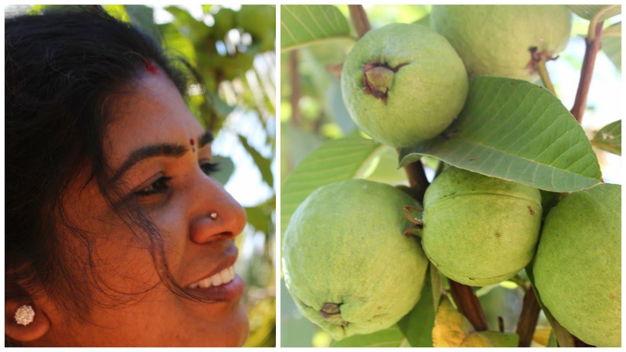 Organic Farm Fresh Guava Fruits In My Farm  Ready To Eat