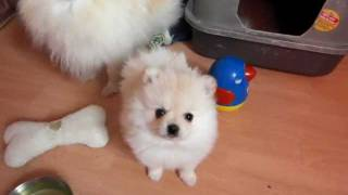 Pomeranian Zwergspitz Baby, Lovely´s Heartbreaker  Virginia Gold