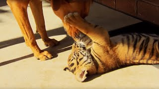 Tiger Cubs Playing With Dogs - Tigers About The House - BBC