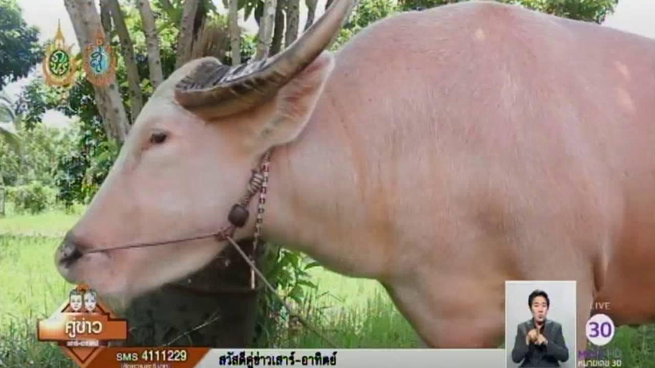 หนุ่มสกลฯ เลี้ยงควายเผือกไทยแท้ พร้อมขยายพันธุ์เพื่ออนุรักษ์