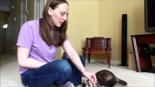 Ferret Training 202: Teaching your ferret to roll over