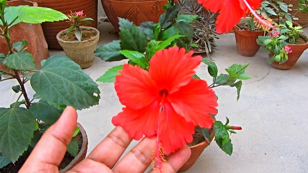Fertilize Your Hibiscus Plant For More Blooming Urduhindi Youtube