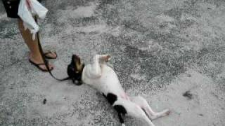 Kushemu 1- Feral Dog On Leash For First Time