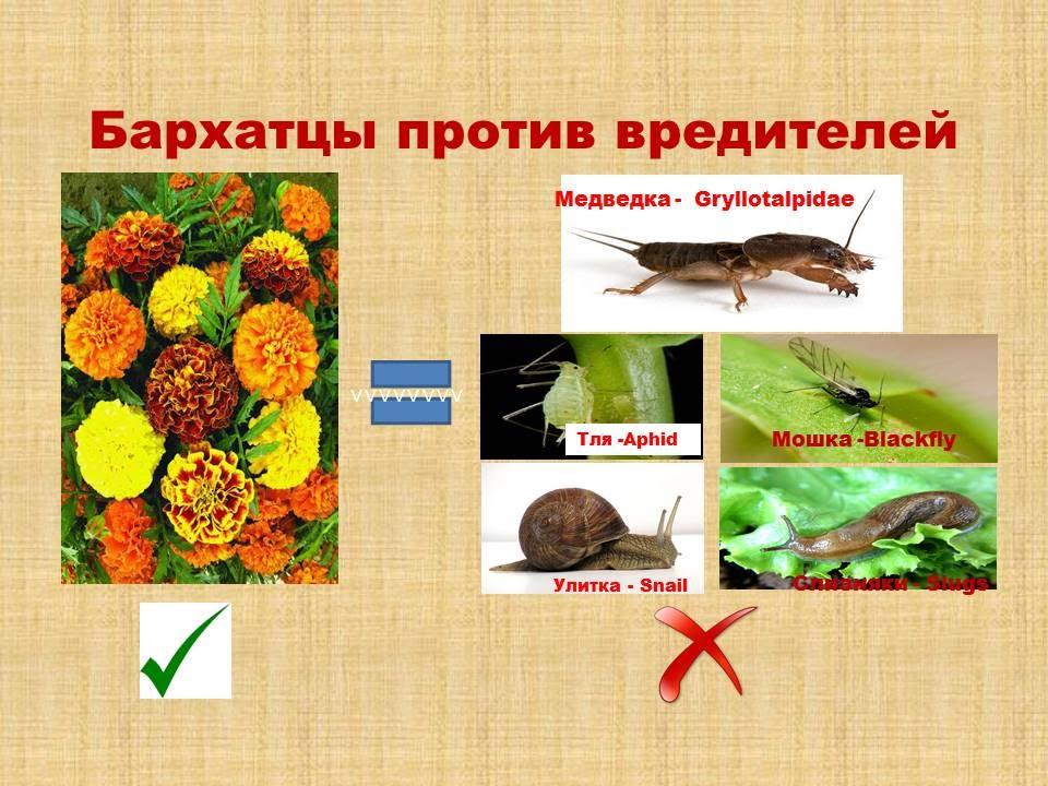 Высаживаем Бархатцы / Боремся с вредителями жуками и насекомыми /Медведка /Тля /Улитки /Слаки /Мошка