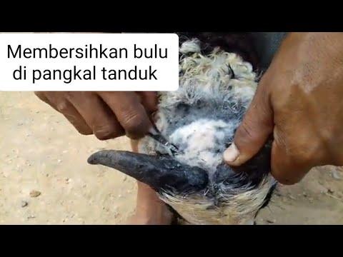 Cara Merawat Tanduk Domba Youtube