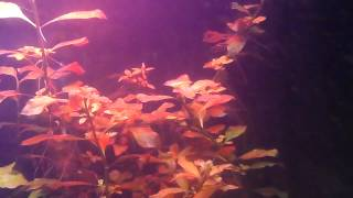 Ludwigia: Care Tips And My Experince/knowledge