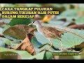 Suara Ampuh Untuk Menangkap Burung Tikusan Amaurornis Cinerea Dalam Sekejap Dapat Banyak  Mp3 - Mp4 Download