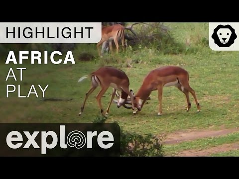 Africa at Play - Live Camera Highlight