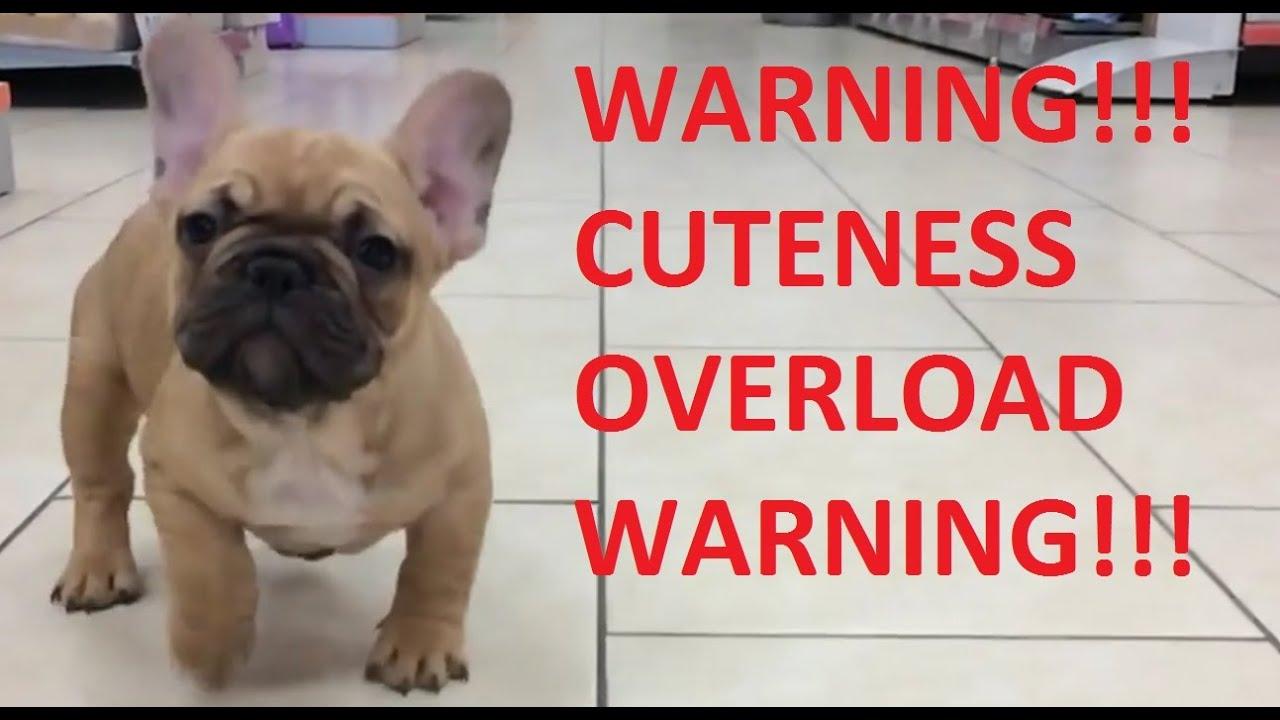 cute french bulldog baby running - youtube