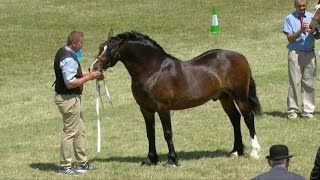 Cobiau Cymreig - Meirch Ifanc | Welsh Cobs - Young Stallions