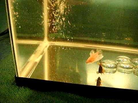 Betta fish breeding tank halfmoon bettas youtube for Betta fish mating
