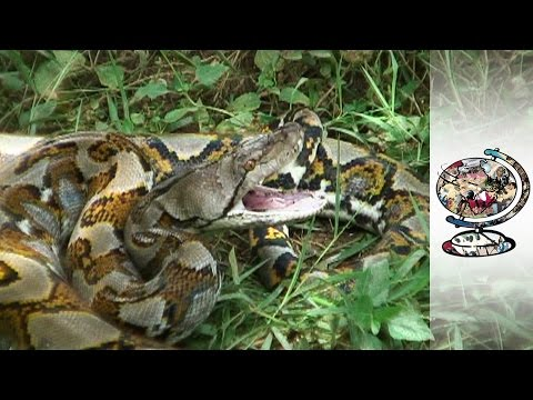The Gruesome Details Behind the Snakeskin Trade (2011)