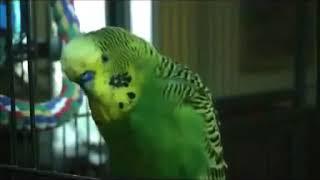 Смешной попугай забавно разговаривает/Funny parrot funny talking