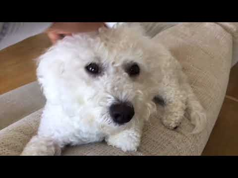 Cute Fluffy White Dog Bichon Frise Breed