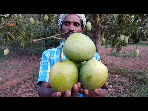 Farm Fresh Big Size Sweet Raw Mango Eating With Salt And Chilly Powder | Healthy Village Food Mp3