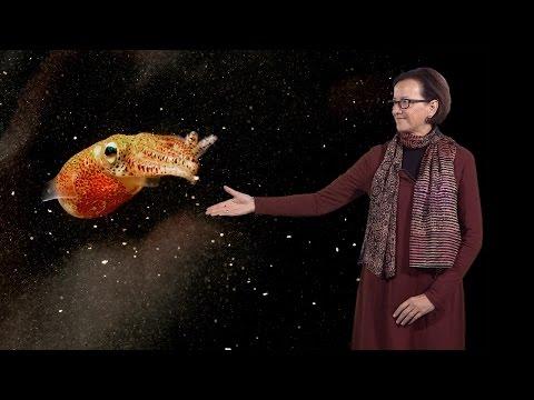 McFall-Ngai (U. Hawaii Manoa) 2: The Hawaiian bobtail squid - Vibrio Fischeri association