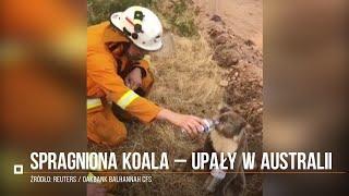 Spragniony koala – upały w Australii