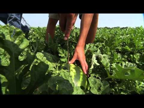 Georgia Watermelons - America's Heartland
