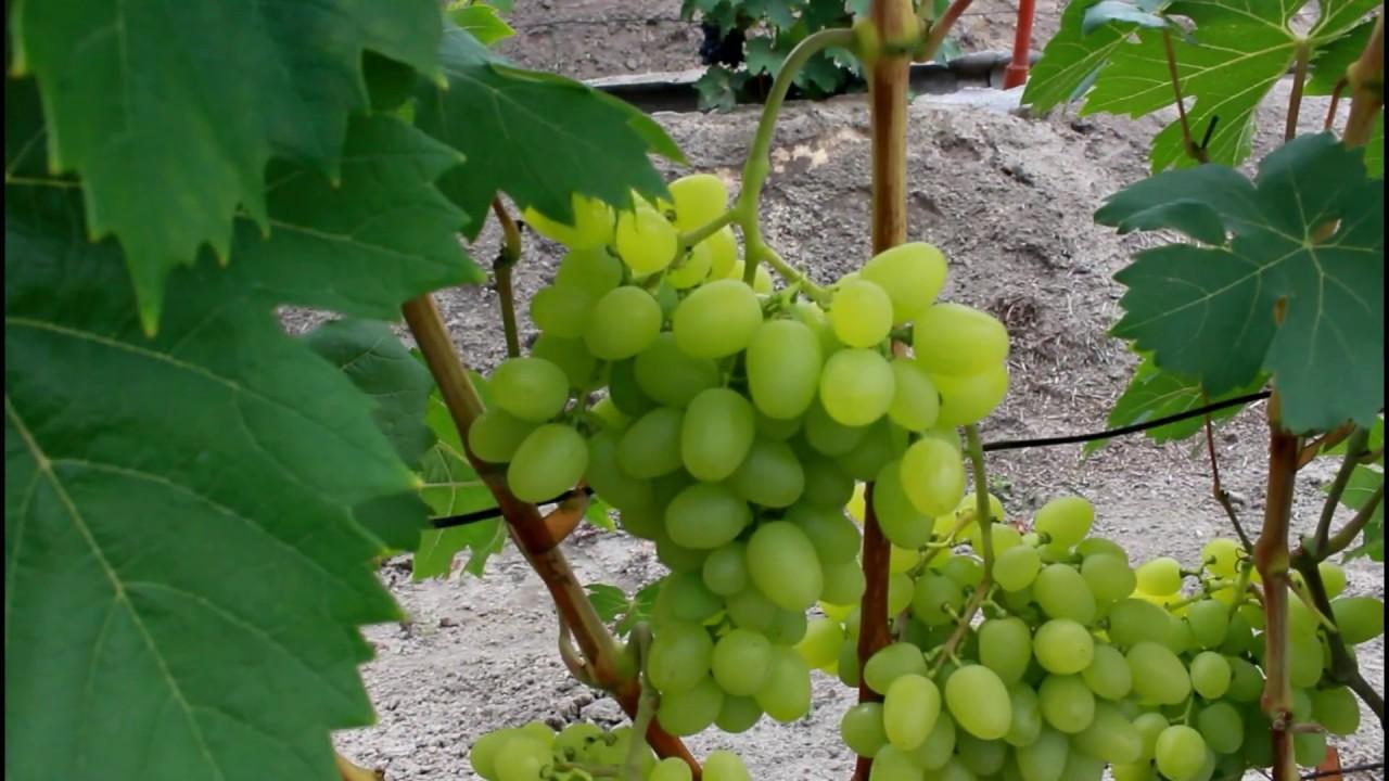 россии сорт винограда юодупе фото нашем каталоге представлен