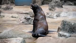 남아메리카 물개 울음소리 두번째 영상 (서울대공원 동물원). South american fur seal CRYING SOUND(Korea Seoul Grand Park Zoo)