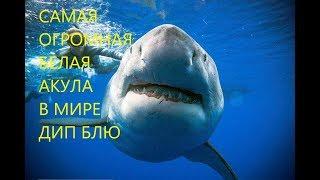 Дип Блю - Самая Огромная Белая Акула в Мире