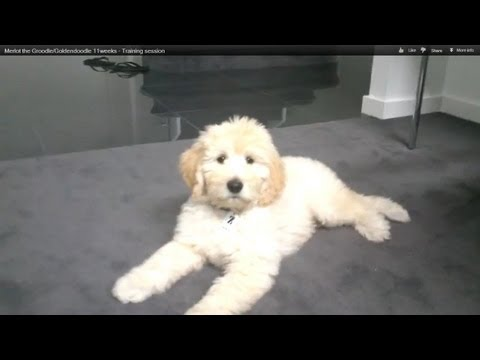 Merlot the Groodle/Goldendoodle 11weeks - Training session