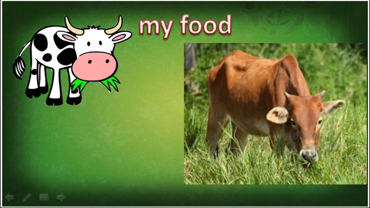 Talking Animals - Cow Baby Flashcards - YouTube