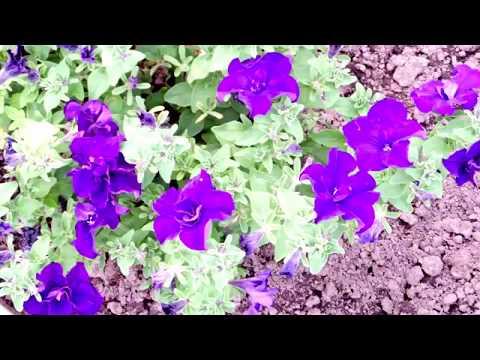 Видеозапись Красивые цветы на даче 2016 (фото цветов)