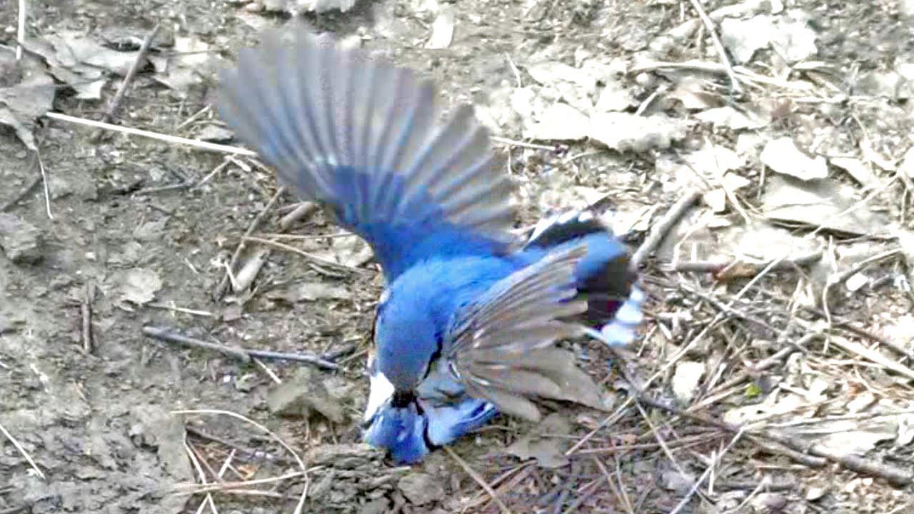 ДРАКА ПТИЦ поползней Birds fight nuthatches