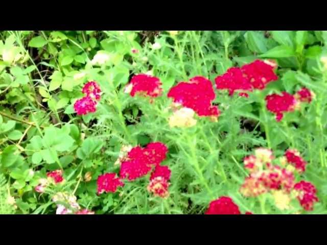 Achillea 'Pomegranate'