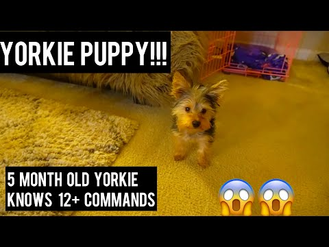5 MONTH YORKIE PUPPY AND KNOWS 12 + COMMANDS - YORKIE TRAINING