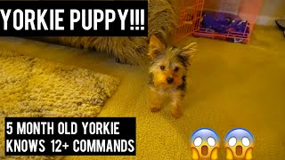 5 MONTH YORKIE PUPPY AND KNOWS 12 + COMMANDS  YORKIE TRAINING