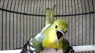 Adu Suara Kencang 3 Sirtu    Burung Cipoh Gacor Banyak Variasi