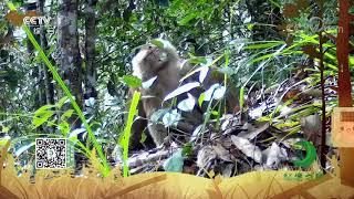 《秘境之眼》 北豚尾猴 20200122  CCTV
