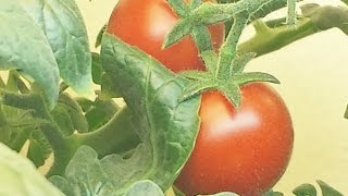 Grow  A Tomato Plant Indoors : Easy How-To Tutorial
