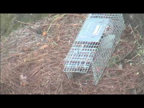 Chipmunk walks into Live Trap and gets caught