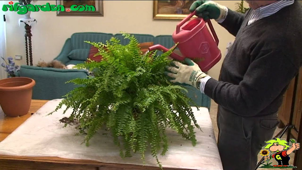 Growing ferns indoors YouTube