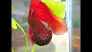 Бойцовая рыбка Петушок Подготовка нерестовика Посадка производителей Кормим мальков